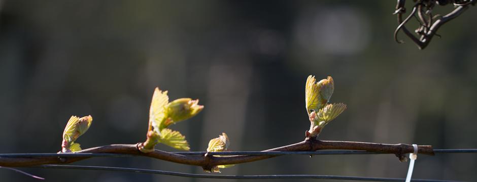 Budburst in the Vineyards